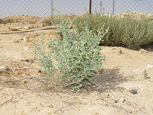 Unundentified desert bush (to be identified so...