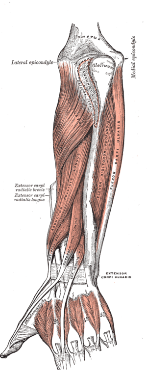 Flexor pollicis longus (left) and deep muscles...