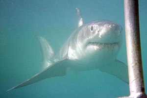 English: A great white shark approaches divers...