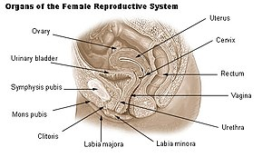 Organs of the female reproductive system.