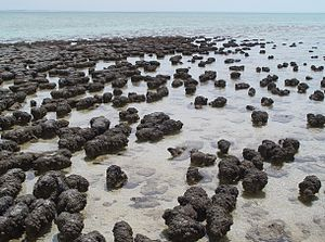 English: Stromatolites growing in Hamelin Pool...