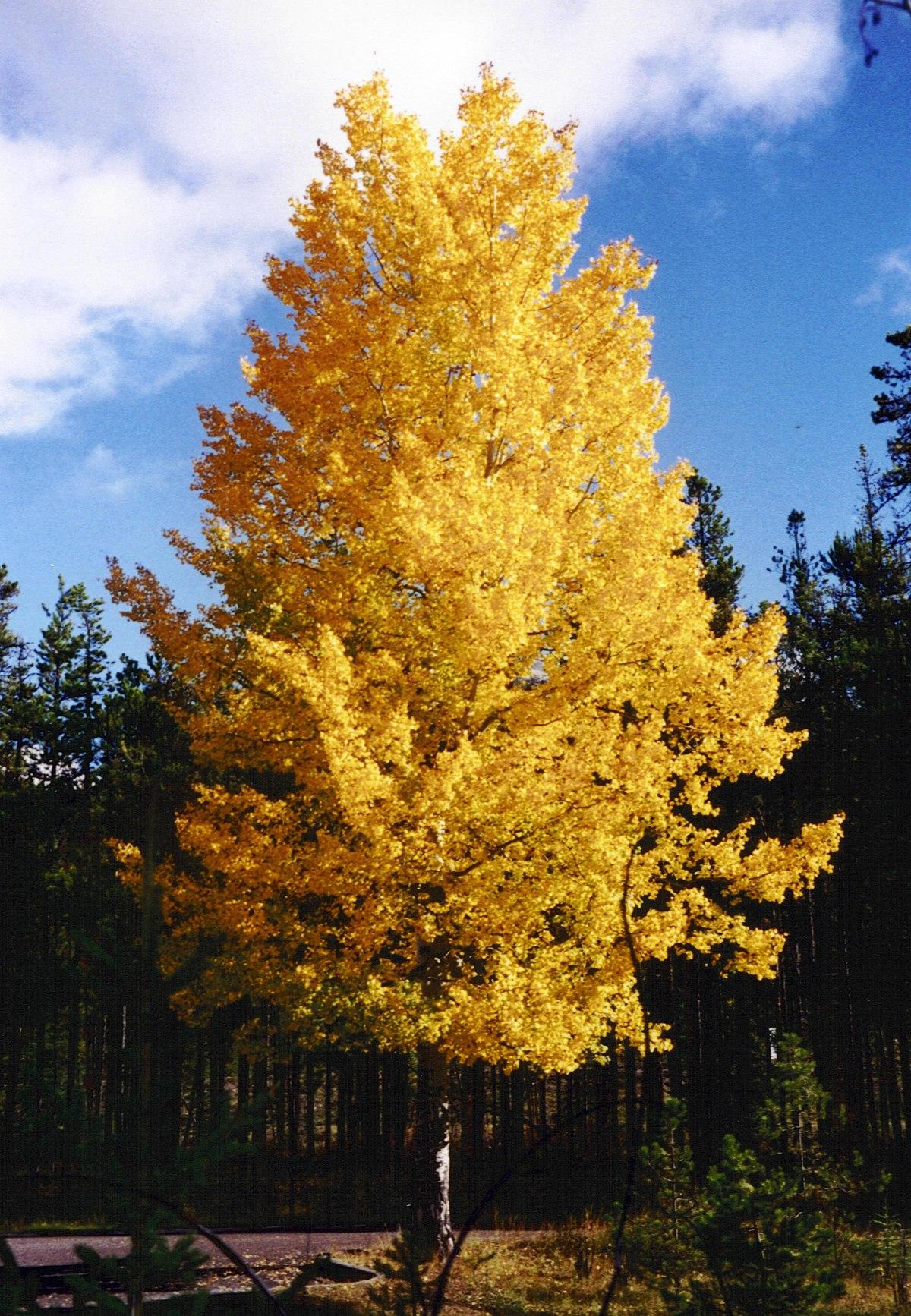 Populus tremuloides - Wikimedia Commons