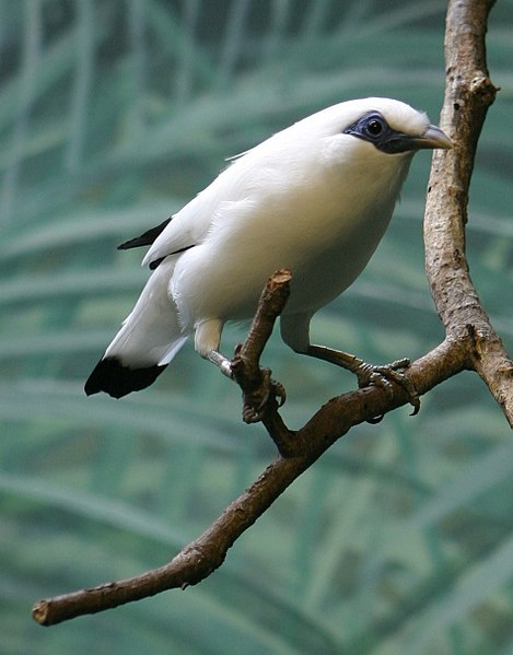 File:Bali Mynah - Houston Zoo.jpg