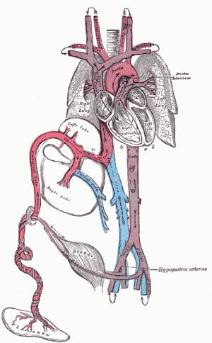 Circulation of a fetus