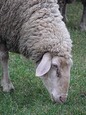 A German ewe grazing, breed unknown.