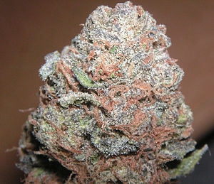 English: A select nugglet of Purple Kush