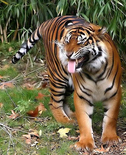 Sumatratiger-004.jpg