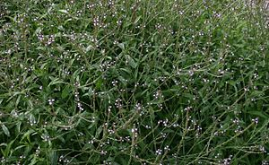 Verbena-officinalis