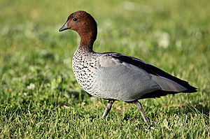 Side view of male Australian wood duck, Chenon...