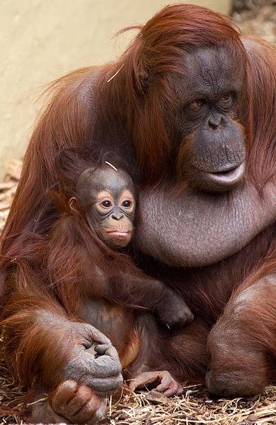 File:Baby Orangutan 3 (7109563039).jpg