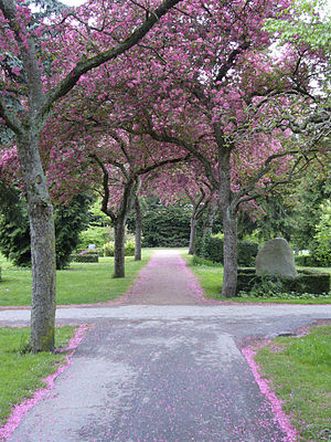 Cherry trees at Assistens Cemetery, Denmark