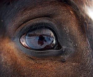 Eye of horse.