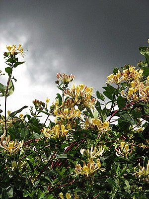 English: Honeysuckle (Lonicera spec.) Honeysuc...