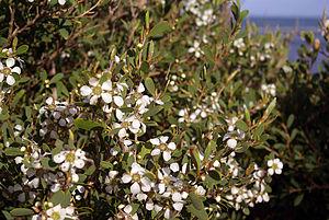 English: Leptospermum laevigatum (Coastal Tea ...