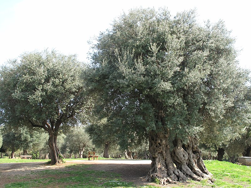 File:Olive park Roquebrune3.jpg