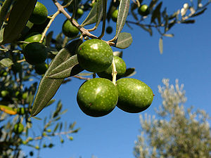 Olives on tree