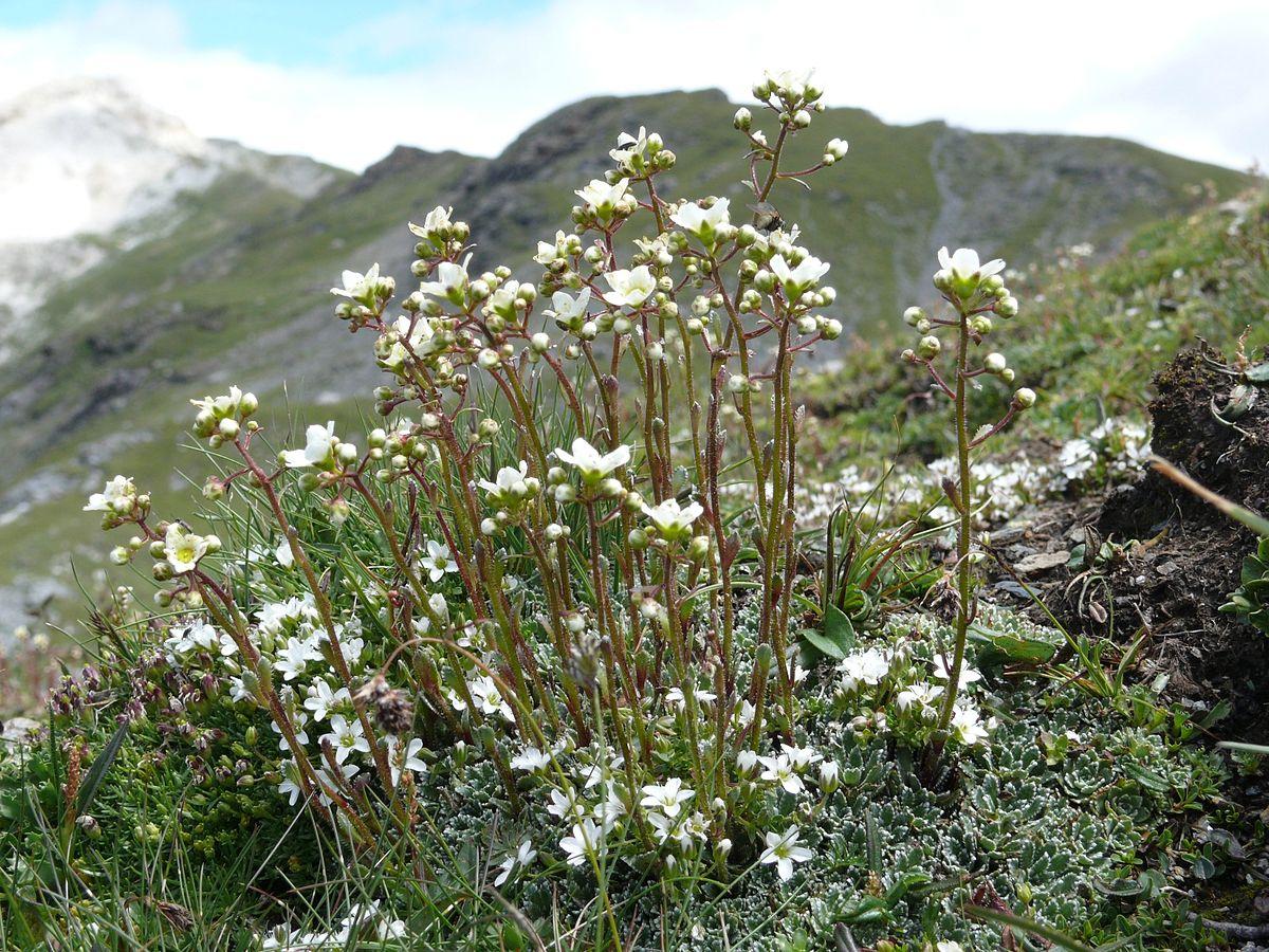 Saxifraga Paniculata Wikispecies