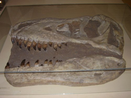 Tarbosaurus bataar skull (Prague National Museum).jpg