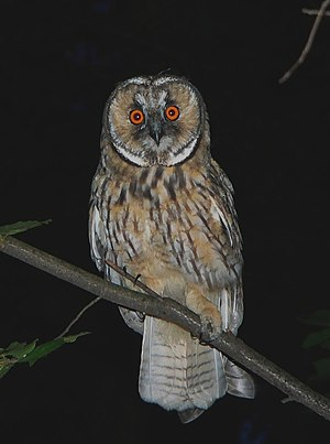 young Long-eared owl (Asio otus), surroundings...