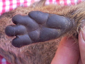 Close up of the foot pads on a Rock hyrax Proc...