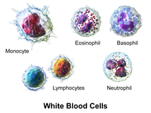 White blood cell - Wikipedia