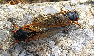English: Cicadas (Magicicada) mating in Cookev...