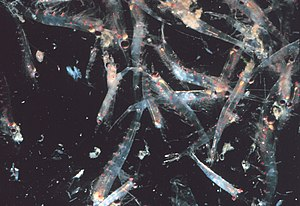 English: Many krill. Photo taken in the Gulf o...