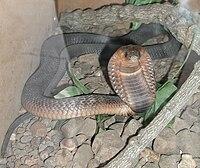 Kobra mesir (Naja haje)