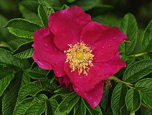 English: A Rosa Rugosa specimen in the provinc...