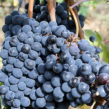 English: A close-up view of sangiovese grapes ...