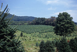 Southern Virginia farm of Christmas trees of v...