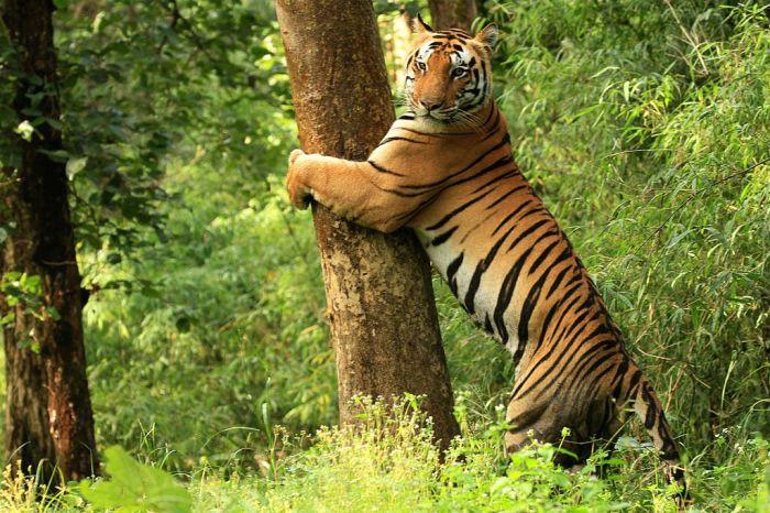Tiger Kanha National Park.jpg