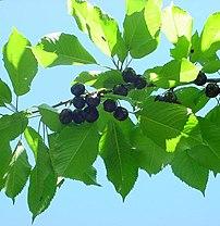 Bing cherry branch