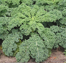 kale leaves wikipedia