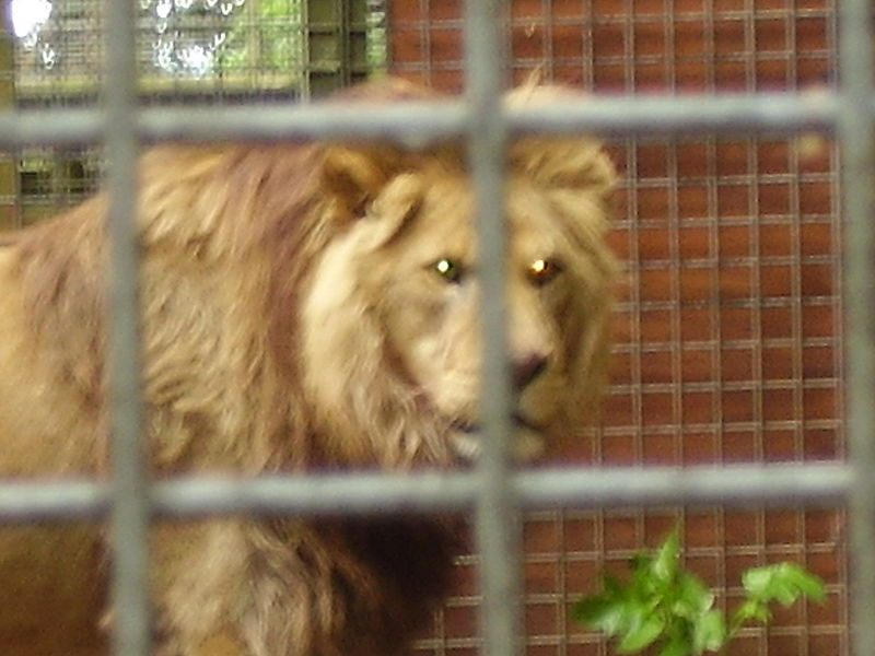 File:Captive barbary lion.jpg