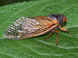 17-year periodic cicada, Magicicada sp. brood ...
