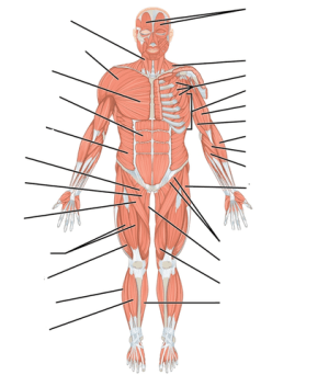 File:Muscles; anterior view; unlabeledpng  Wikimedia Commons