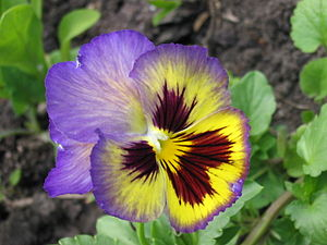 English: Pansy flowers Русский: Анютины глазки