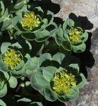 Rhodiola rosea (male s3)