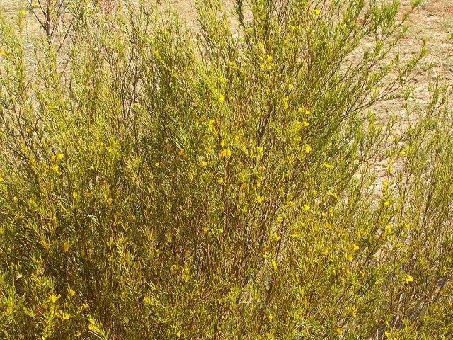 Rooibos (Aspalathus linearis)PICT2813