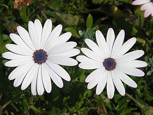 White flowers of Osteospermum ecklonis