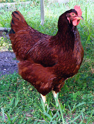 English: A picture of our Rhode Island Red, he...