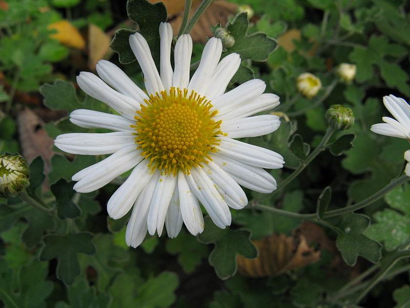 Tập tin:Chrysanthemum japonense var ashizuriense1.jpg