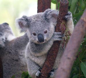 English: Baby koala, captured at Currumbin Wil...