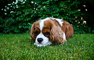 English: A Cavalier King Charles Spaniel (Blen...