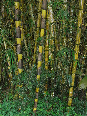 Giant Bamboo in Ecuador