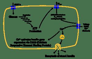 Mechanism of insulin release in normal pancrea...
