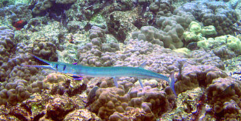 A Needlefish is being cleaned by Rainbow clean...