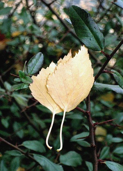 File:Pair of birch leafs.jpg