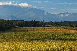 Vinyard nr Perpignan, Languedoc region, France...